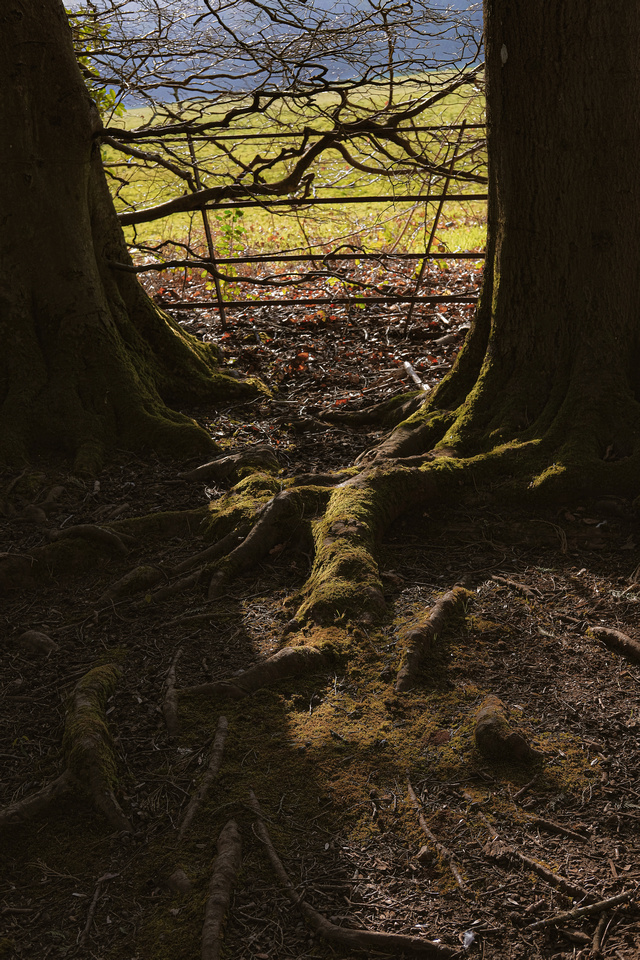 Tree roots and Spring light at Ashton Court