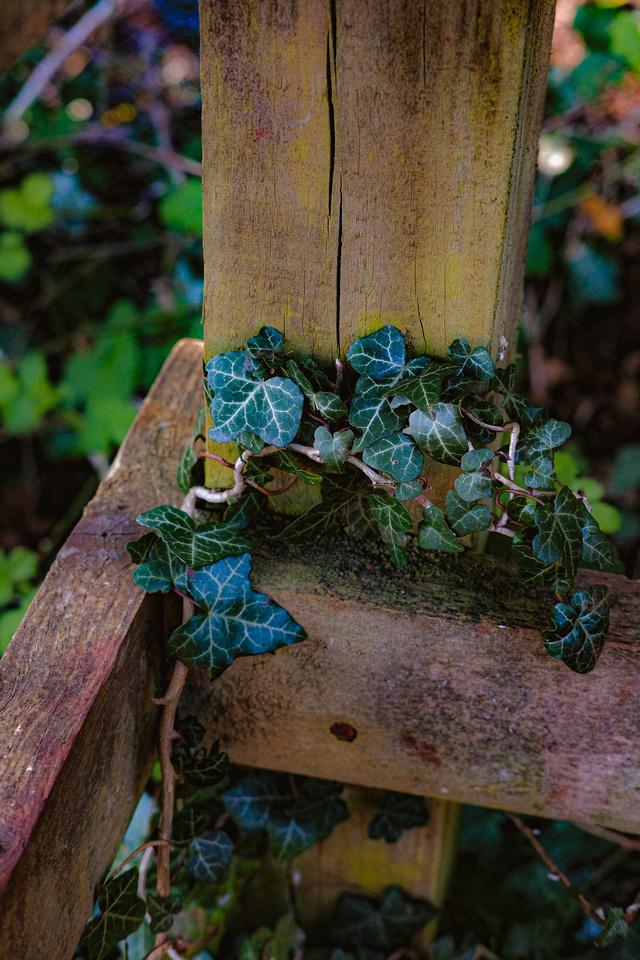 Ivy climbing up a kissing gate