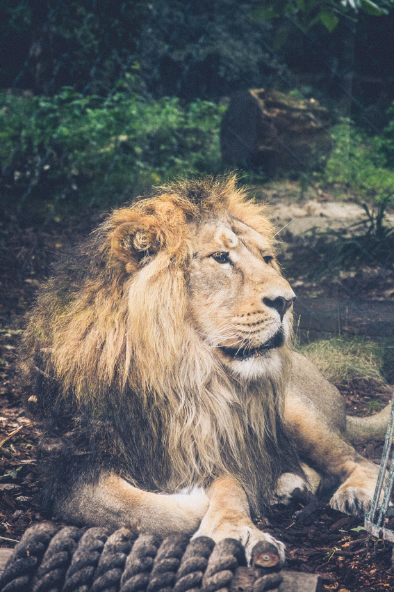 The Asiatic Lion at Bristol Zoo